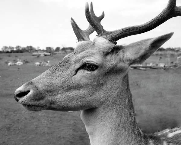 Photograph - Fallow Deer by Angela Murdock