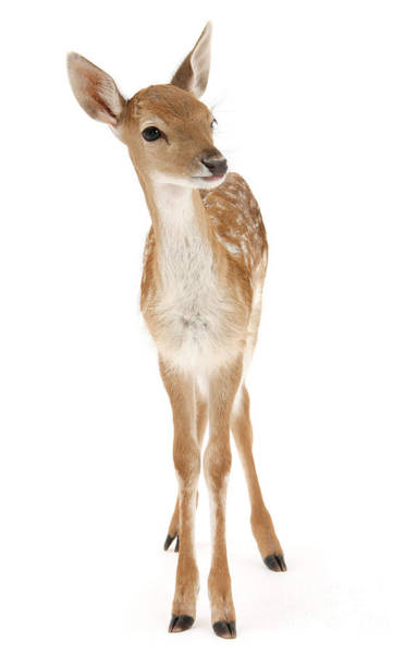 Photograph - Fallow Deer Fawn Portrait by Warren Photographic