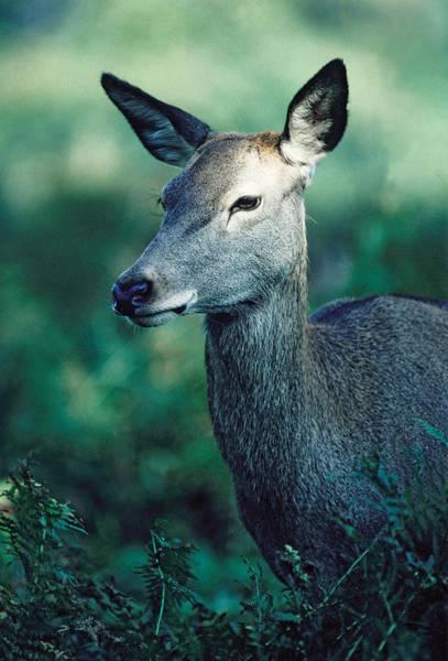 Photograph - Fallow Deer Fawn by Steve Somerville
