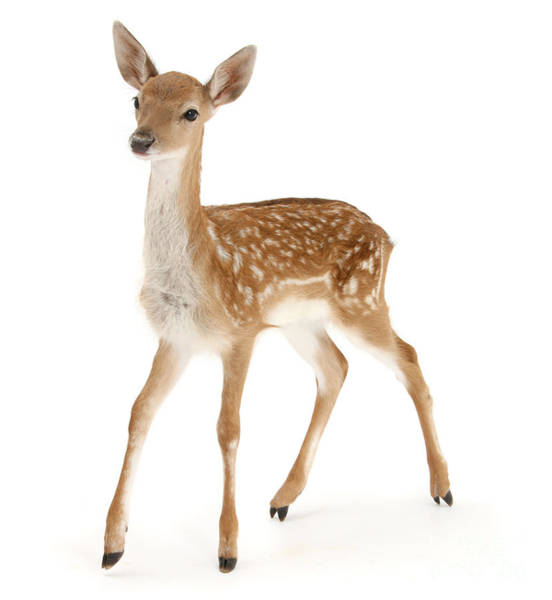Photograph - Fallow Deer Fawn by Warren Photographic