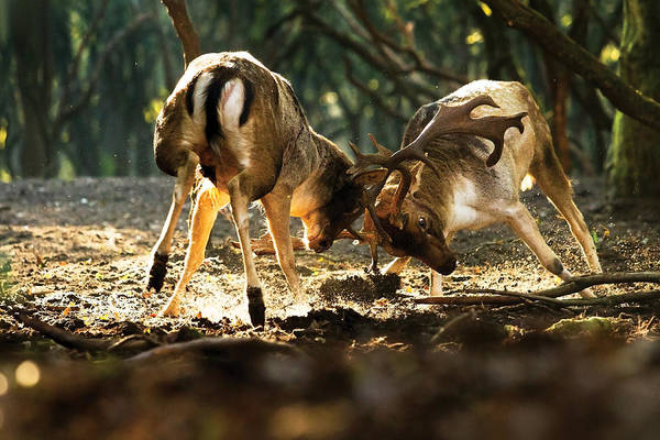 Confrontation Wall Art - Photograph - Fallow Deer Fight by Roeselien Raimond