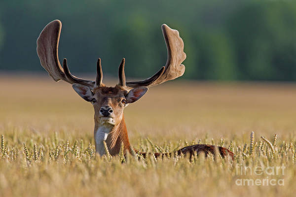 Photograph - Fallow Deer In Summer by Arterra Picture Library
