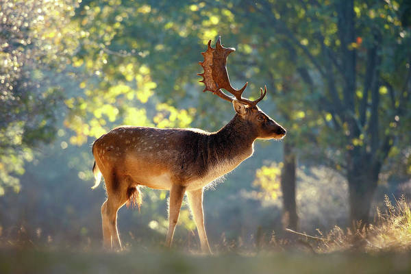 Wall Art - Photograph - Fallow Deer In The Forest by Roeselien Raimond