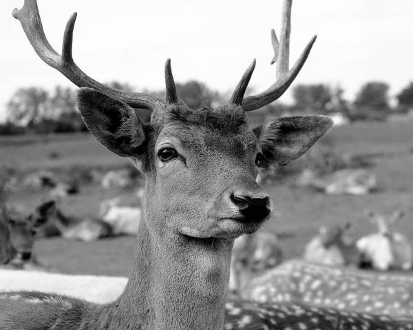 Photograph - Fallow Deer Portrait by Angela Murdock