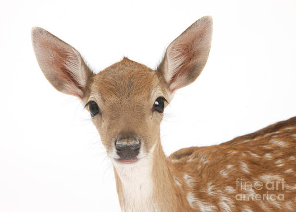 Photograph - Fallow Deer Portrait by Warren Photographic