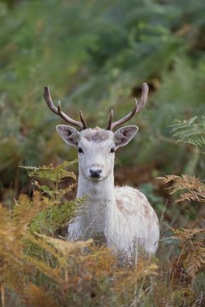 Photograph - Fallow Deer Stag by Peter Walkden
