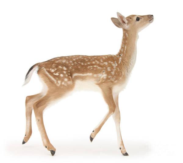 Photograph - Fallow Deer Walking by Warren Photographic