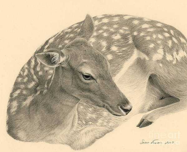 White Tailed Deer Drawing - Fallow Doe Resting by Susan Fraser SCA  B Sc