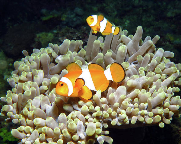 Photograph - Clownfish In Anemone, Indonesia 2 by Pauline Walsh Jacobson