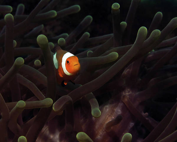 Photograph - Clownfish In Anemone, Indonesia 3 by Pauline Walsh Jacobson