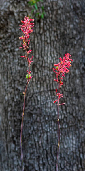 Photograph - False Red Yucca Blooms by Ed Gleichman