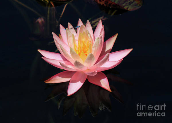 Photograph - Familiar Bluet Damselfly And Lotus  by Paula Guttilla
