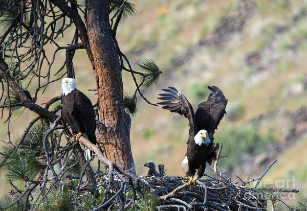 Bald Eagle Photograph - Family Of Four by Mike Dawson