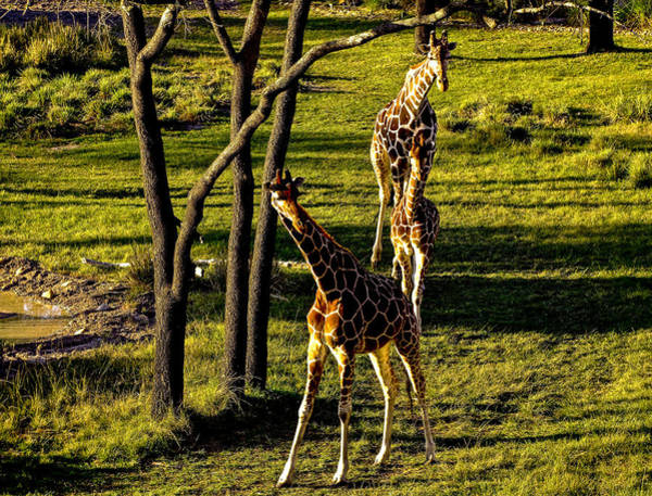 Photograph - Giraffe by M G Whittingham