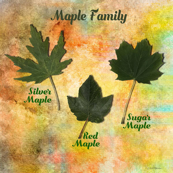 Photograph - Family Of Maple Trees by Ericamaxine Price
