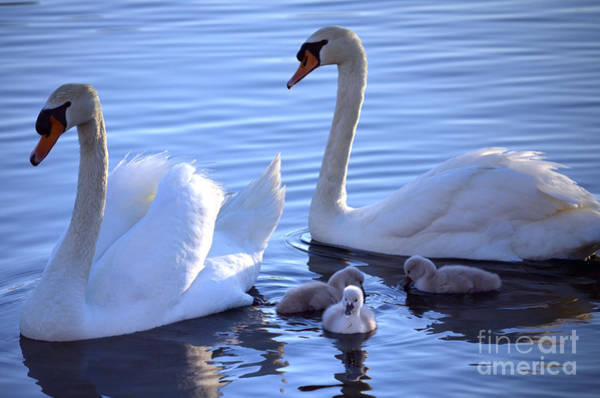 Swan Neck Photograph - Family Outing by Deb Halloran