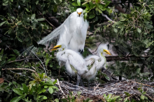 Photograph - Family Portrait Egret Style by Susan Molnar