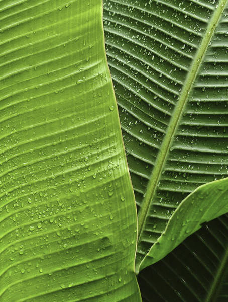 Photograph - Fan Palm Leaf 2 by Lou  Novick
