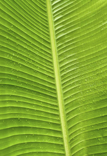 Photograph - Fan Palm Leaf by Lou  Novick