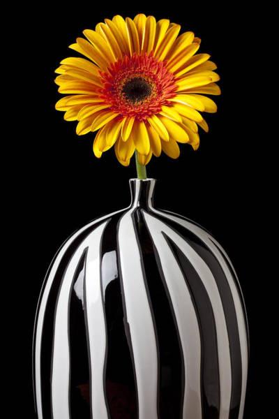 Gerbera Daisy Photograph - Fancy Daisy In Stripped Vase  by Garry Gay