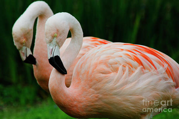 Photograph - Fancy Flamingos by Spade Photo
