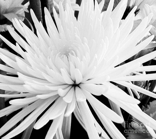 Spider Lily Wall Art - Photograph - Fancy Flower by Marsha Heiken