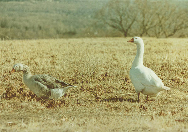 Photograph - Farm Geese by JAMART Photography