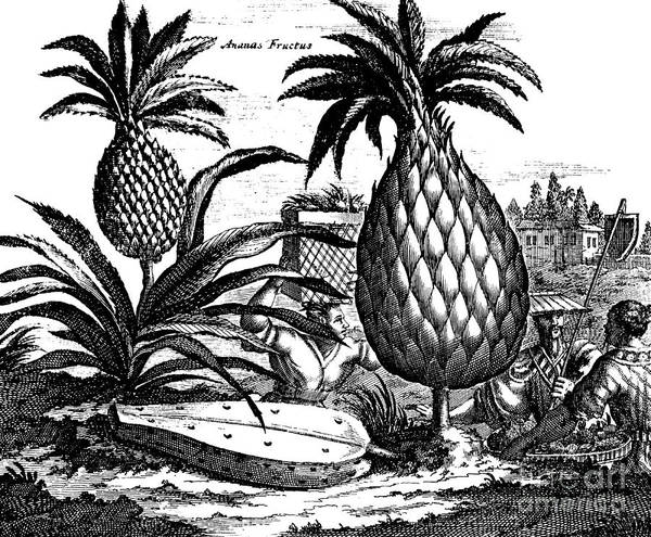 Pineapples Drawing - Farming Large Pineapples, Illustration From A Description Of Embassies To China, 1690  by English School