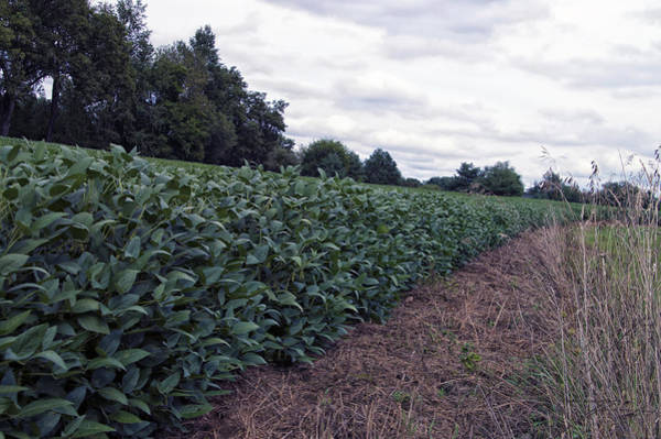 Wall Art - Photograph - Farming September Beans by Thomas Woolworth