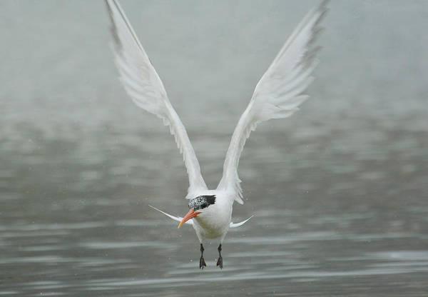 Elegant Tern Wall Art - Photograph - Fast Forward by Fraida Gutovich