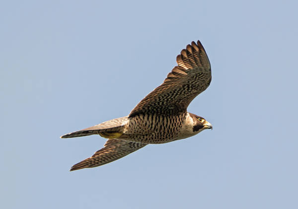 Flyby Photograph - Fastest Animal In The World by Loree Johnson