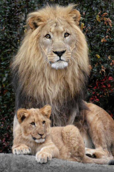 Lion Cubs Photograph - Father And Son by Joachim G Pinkawa
