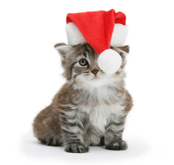 Photograph - Father Christmas Maine Coon Kitten by Warren Photographic