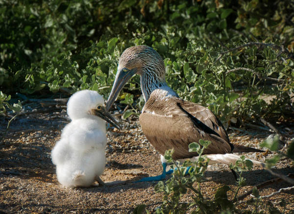 North Seymour Island Photograph - Fatherhood - Blue-footed Booby Dad And Chick by Jane Selverstone