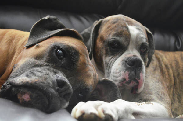 Dozer Photograph - Fawn And Brindle by DigiArt Diaries by Vicky B Fuller
