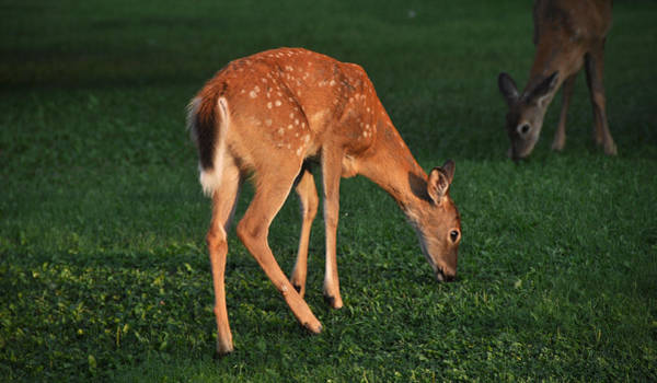 Wall Art - Photograph - Fawn At Dusk by John Ricker