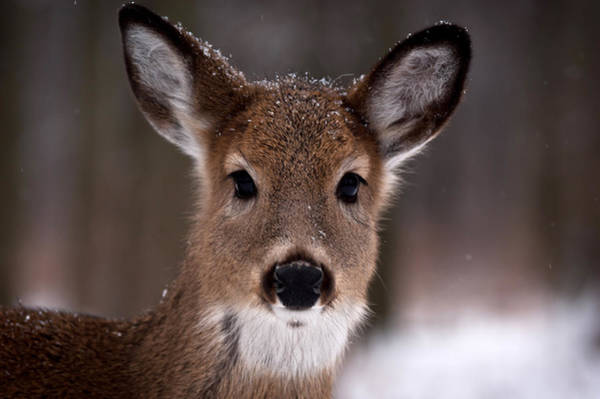 Winter Deer Photograph - Fawn by Cale Best