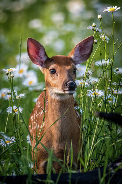 Wall Art - Photograph - Fawn In Daisies by Paul Freidlund