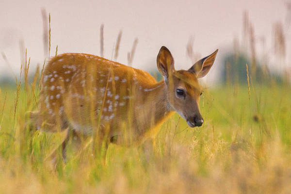 Photograph - Fawn In Grasslands by John De Bord