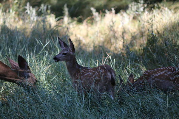Photograph - Fawn In The Grass  by Christy Pooschke