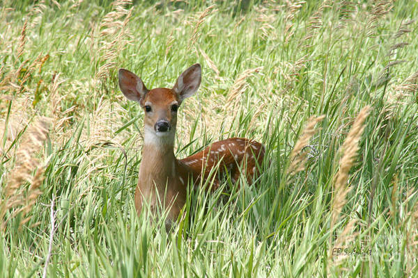 Photograph - Fawn In The Tall Grass by E B Schmidt