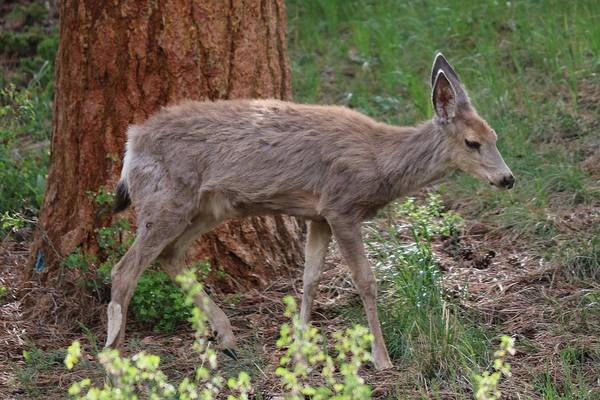 Photograph - Fawn In The Woods by Christy Pooschke