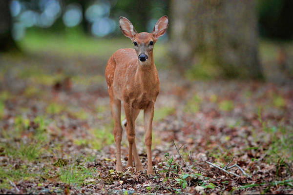 Photograph - Fawn In Woods At Shiloh National Military Park by WildBird Photographs
