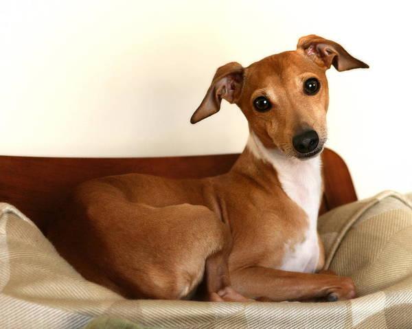 Photograph - Fawn Italian Greyhound 2 by Angela Rath