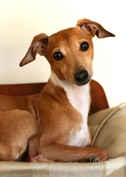Photograph - Fawn Italian Greyhound by Angela Rath