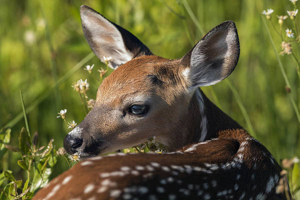 Fawn Over The Shoulder Art Print