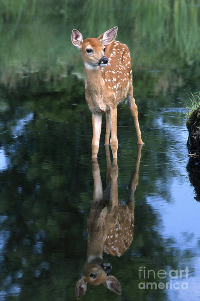 North American Wildlife Wall Art - Photograph - Fawn Reflection by Sandra Bronstein