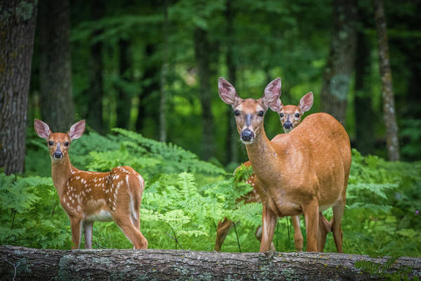 Wall Art - Photograph - Fawns And Mother by Paul Freidlund