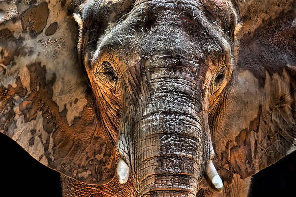 Elephants Photograph - Fearless by Janet Fikar