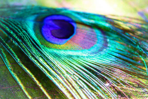 Photograph - Feather 2 by Stacey Rosebrock
